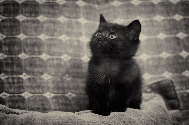 gattino nero kitten